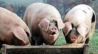 Pigs_Trough - Bryce Edwards